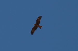 An eagle circling over Charyn Canyon. Well, I think it is an eagle. Looked impressive enough to me. Anybody who can identify the bird - please comment!