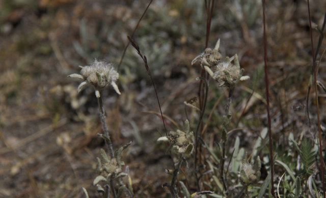 Edelweiss not restricted to the Alps, but also found in the Tian Shan Mountains.