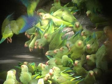 Cobalt winged parakeets gathering